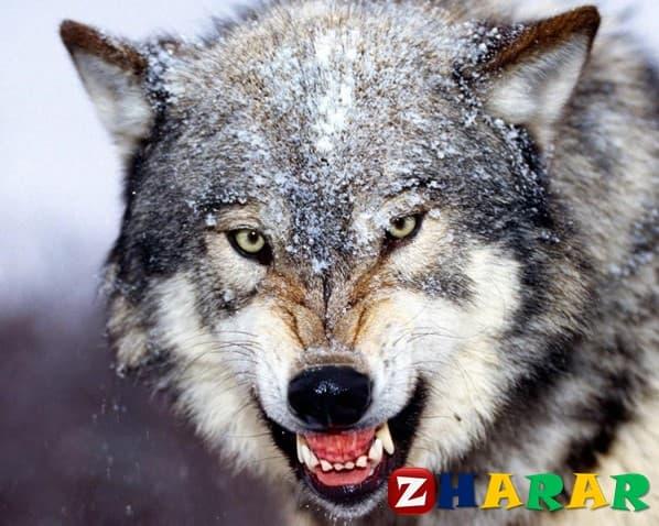 Қазақ тілінен сабақ жоспары: Жыртқыш аңдар және үй жануарлары (1 сынып, 4 бөлім )